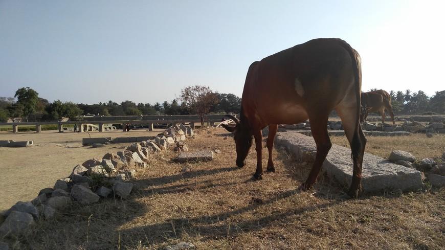 куда уж без коров, это же Индия