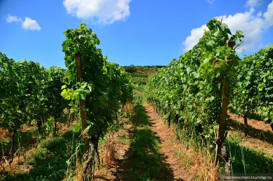 Темный шпэтбургундер или рулэндер (для тех, кто больше привык к французским названиям — это Pinot Noir), и светлые граубургундер (он же Pinot Gris) и вайсбургундер (Pinot Blanc) безраздельно господствуют на местных виноградниках. А еще мюллер-тургау, он же риванер (Mueller-Thurgau/Rivaner), сильванер (Silvaner), гевюрцтраминер (Gewuerztraminer), шойребе (Scheurebe), рислинг (Riesling).