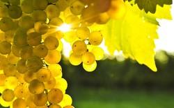В Алуште проведут «Виноградные сезоны»
