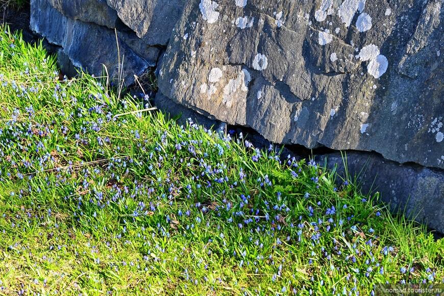 На территории крепости растет множество мелких весенних цветочков, и пасутся стада белощеких казарок, которые меня особенно радовали.. .))