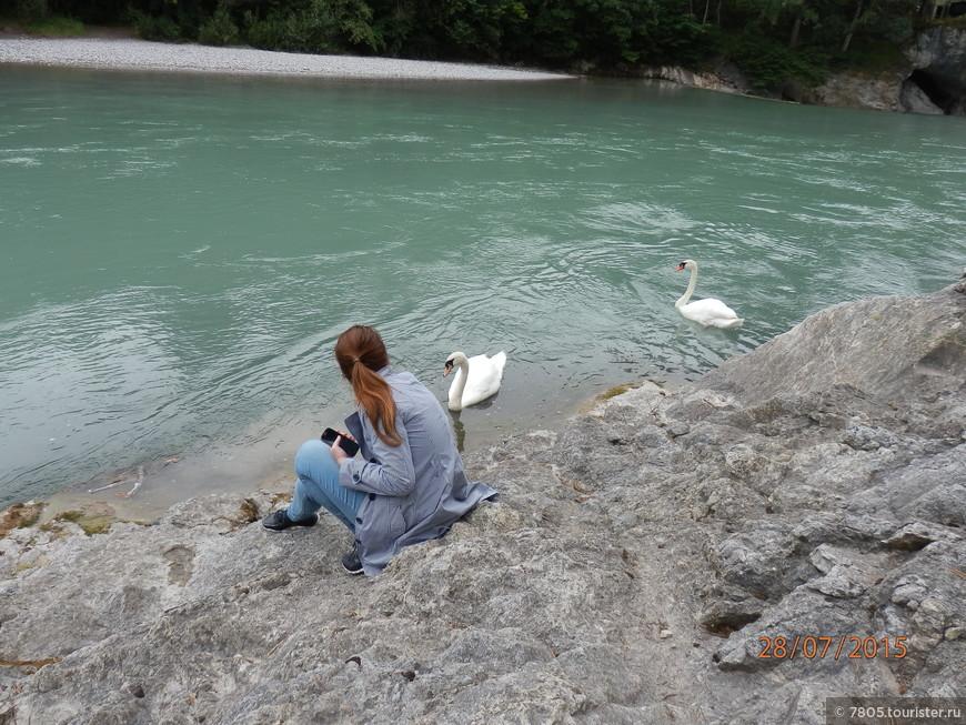 Дикие лебеди у порогов реки Lech.