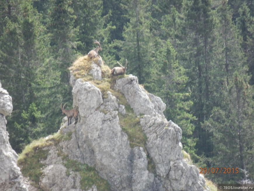 гора Тегельберг,  высота 1837 м,  горные козлы  в июле подошли близко к смотровой площадке, это редкость, говорят  местные жители, их было 5 в нашей видимости