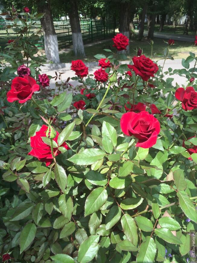 и розы цветут везде и просто так