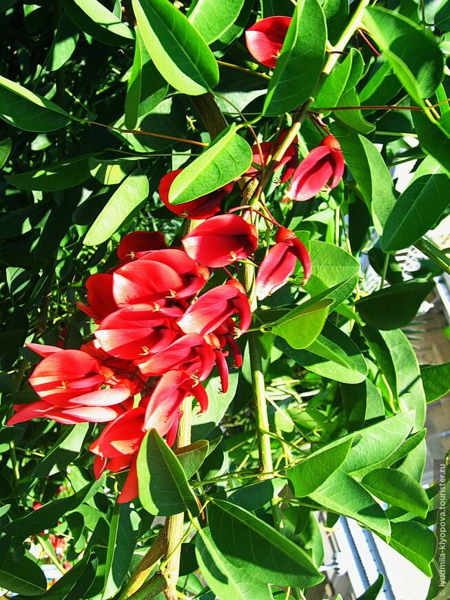 Находят здесь место растения из разных природных зон. Например, это коралловое дерево родом из Бразилии.