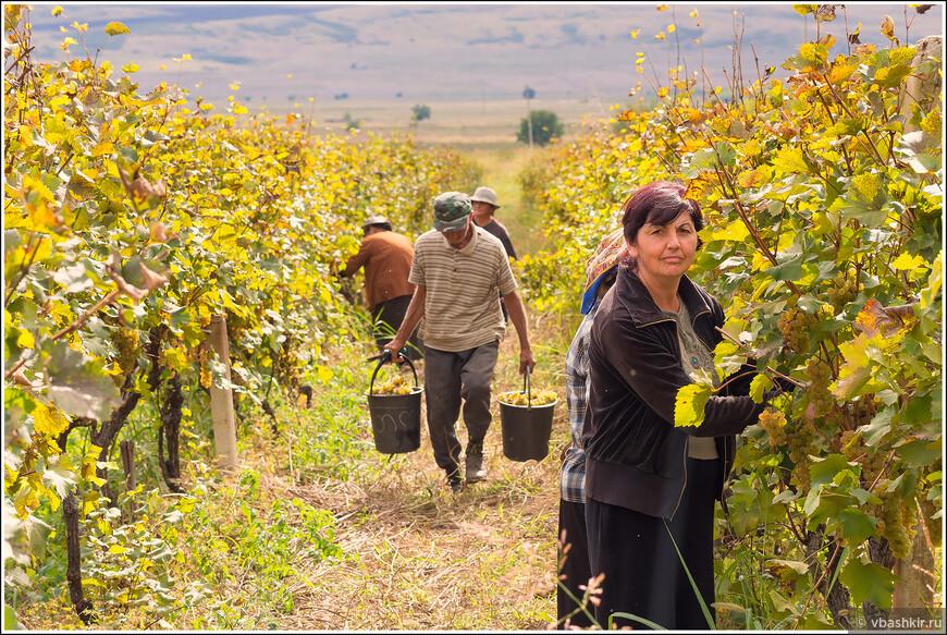 Кахетия. Сбор винограда.