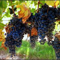 """Тут недавно услышала романс на стихи Ахматовой """"Буду с милыми есть голубой виноград,"""