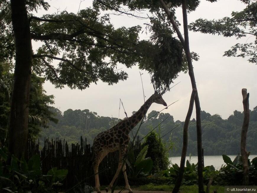 впервые я видела жирафов именно в сигапуре! потом был зоопарк в ростове-на-донку, который не уступил сингапурскому!!! и тоже жирафы! и фламинго!