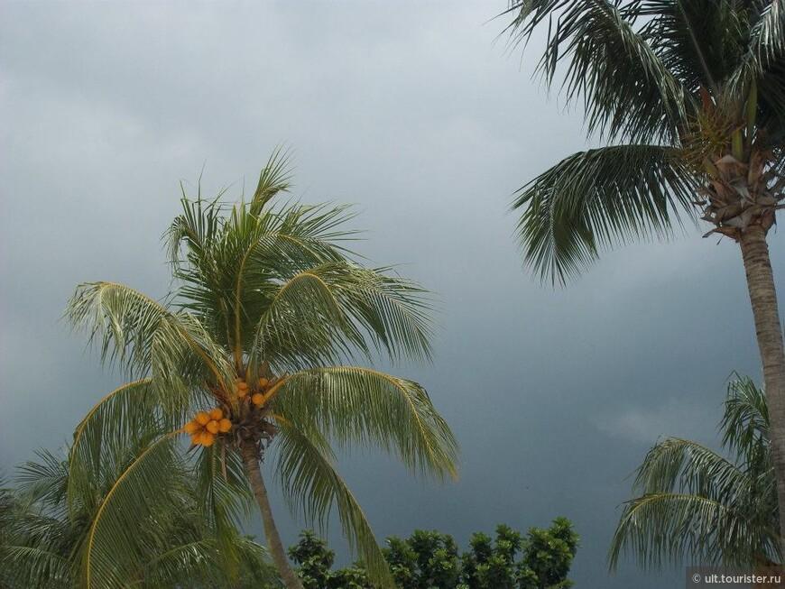 пальмы с кокосами и в городе, и на острове сентоза
