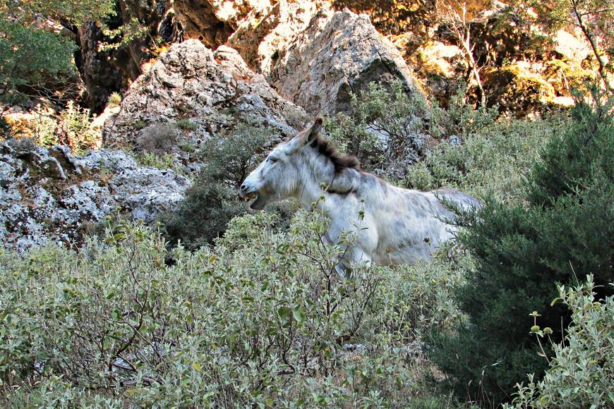 Кроме обычных на Крите коз (к которым привыкаешь как к кошкам), мы встретили в Имбросе и кое-что покрупнее...