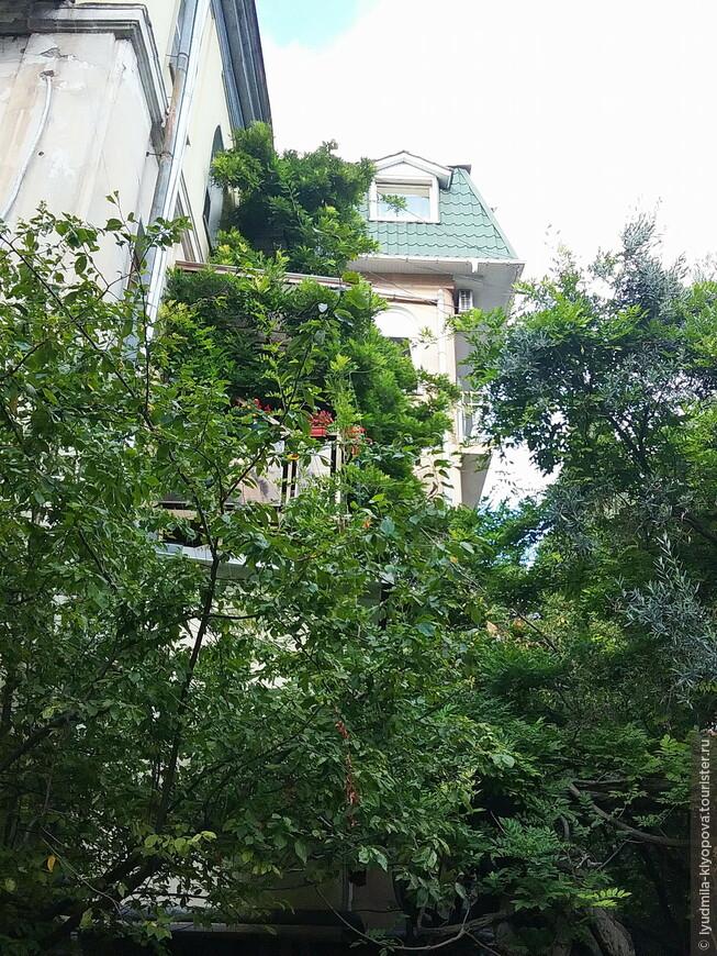 Гигантская глициния возле старого дома. Весной она покрывается длинными гроздьями сиреневых цветов.