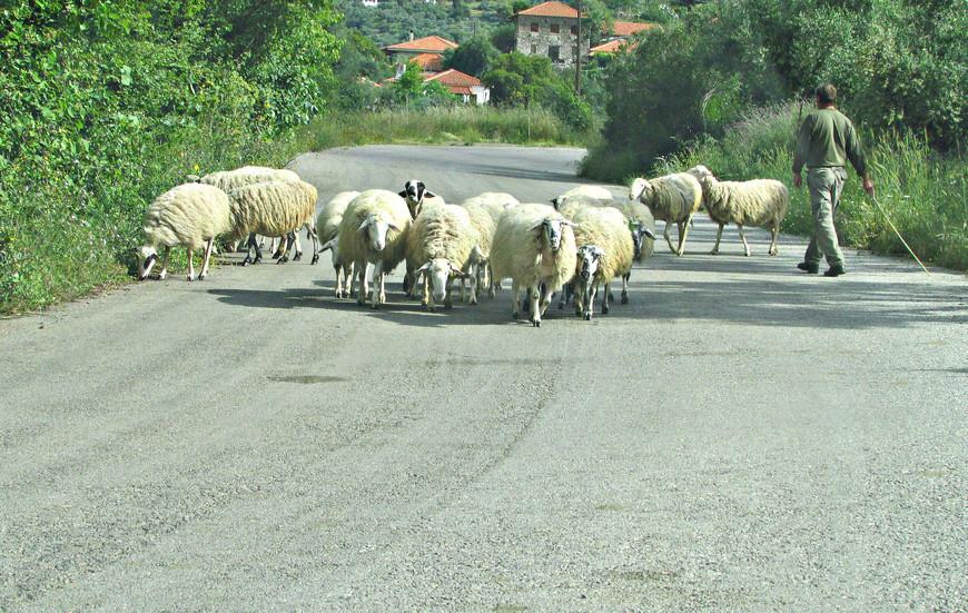 Туристов в Пелопоннесе заметно меньше, чем на островах или в Аттике. И Мессена явно не избалована их вниманием. Шоссе, ведущее к Итоме было пустынным. Только раз нам пришлось остановиться, чтобы пропустить стадо овец...