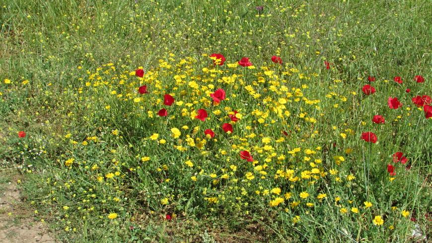 Агора.  Среди невзрачной травки выделяются яркие желто-красные пятна – златоцветы вперемежку с маками.