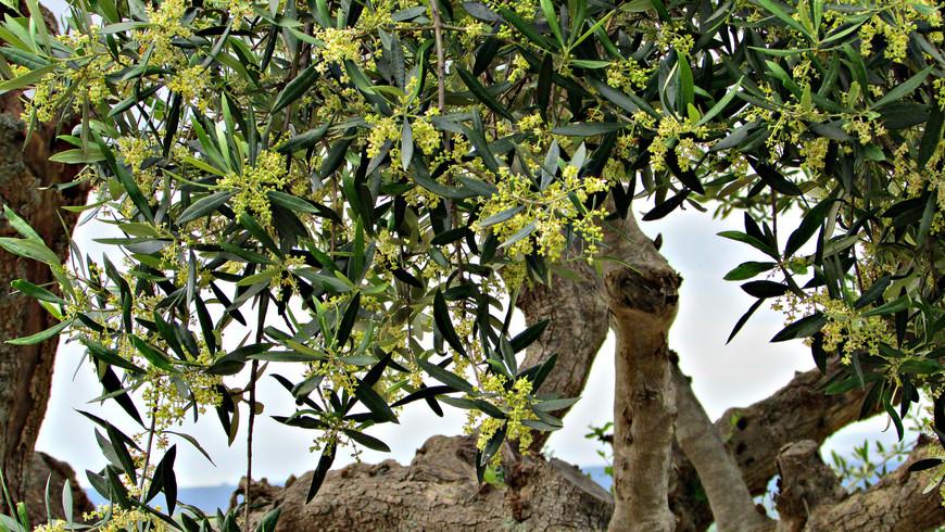 И полюбовались на прекрасную цветущую оливу.