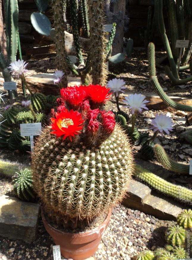 Основная коллекция сада располагается в Далеме — районе Берлина, входящем в состав административного округа Штеглиц-Целендорф, который находится на юго-западе Берлина.  Меня лично  приятно удивила  богатейшая коллекция цветущих кактусов в оранжереях сада.