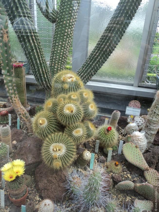 Суккуленты расположены в двух залах: водном – растения из Старого Света, в другом – из Нового. Во втором зале поражают своим разнообразием и размерами кактусы. Есть экземпляры, достигающие в высоту трех-четырех метров.