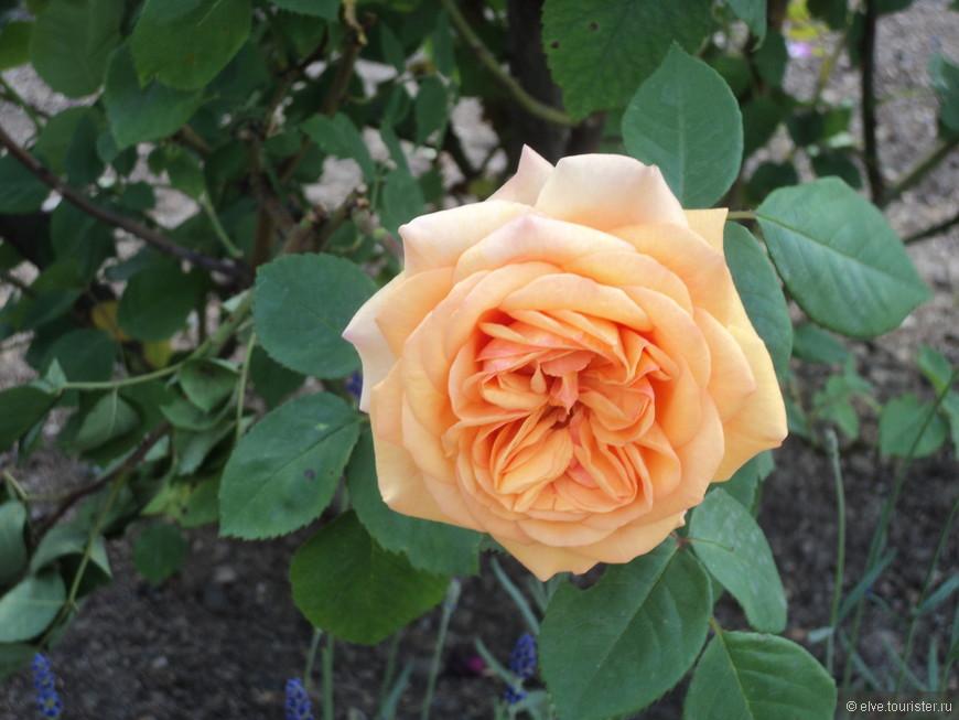 В саду очень много разных роз . Розарий великолепен.