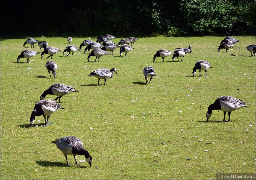 На территории парка  много разных животных и птиц. Гуси бродят повсюду в большом изобилии.