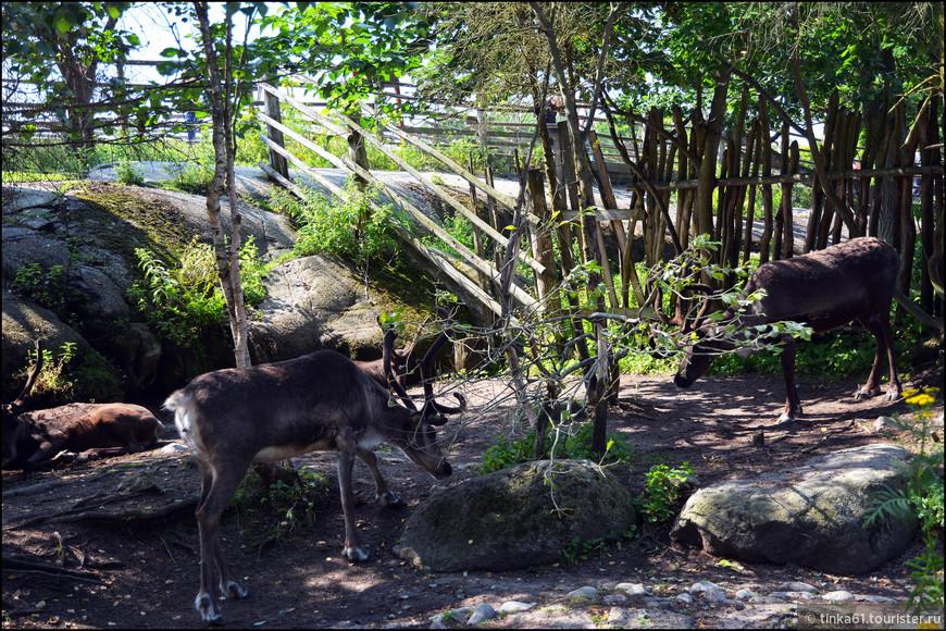 Северный олень с незапамятных времён является домашним скотом саамов. В Скансене северные олени содержатся при саамском чуме, воссоздавая обстановку жизни саамов на севере Швеции.