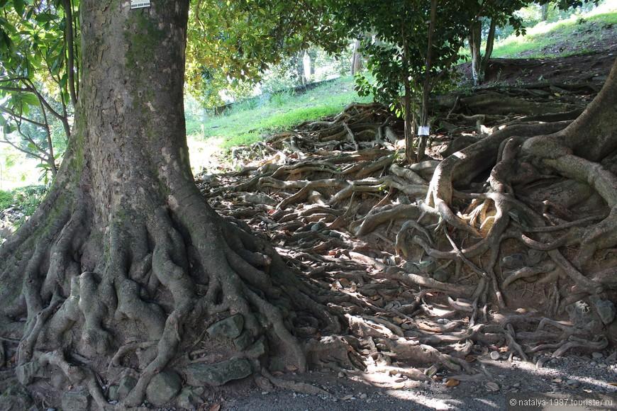 Интересно переплетаются корни магнолий