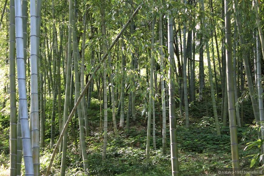 Бамбуковая плантация