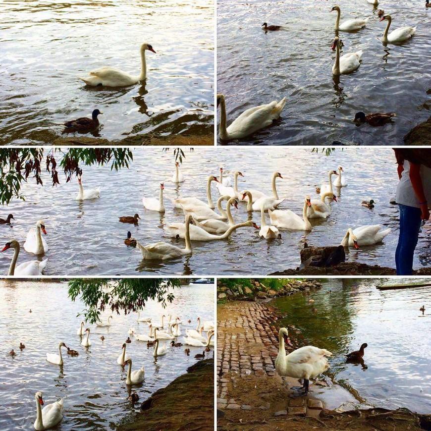 Прага. Река Влтава. Лебеди.