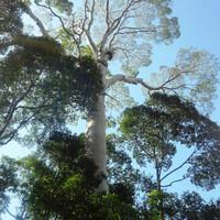 Около 3 000 видов деревьев произрастает в дождевых лесах острова.