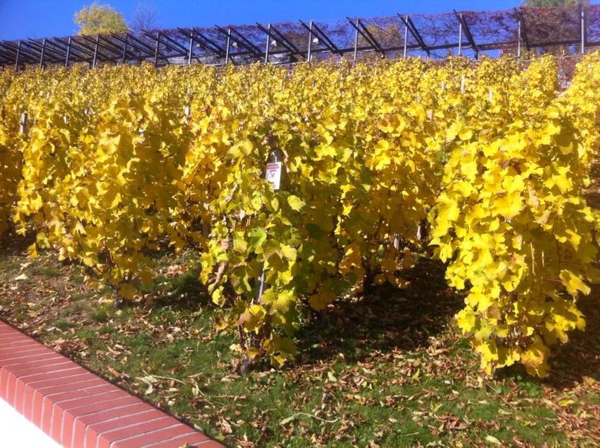 """""""Золотая осень"""" в винограднике на Пражском граде."""