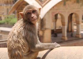 Джайпур. Храм обезьян