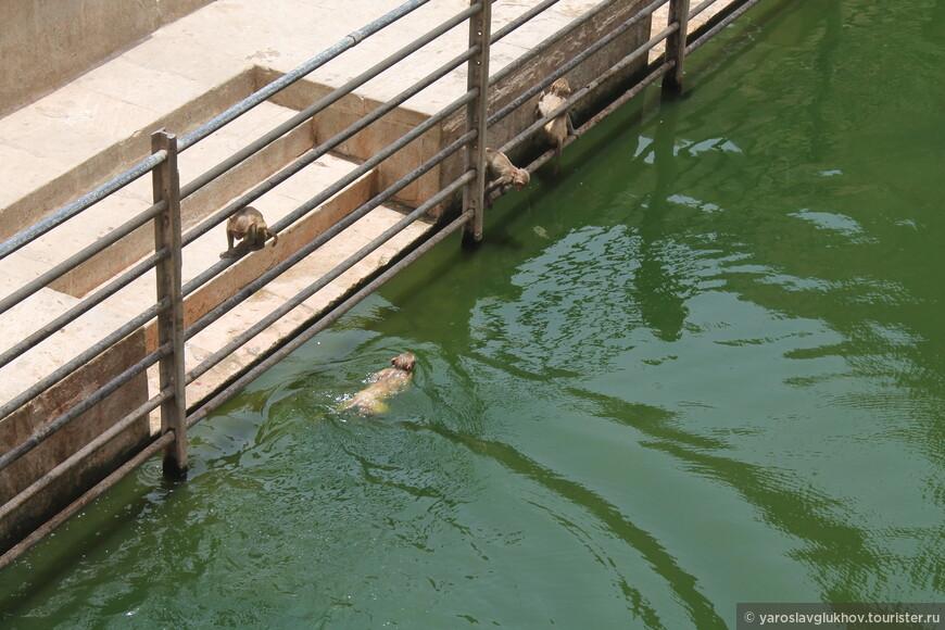 Удивительно, но обезьяны здесь ещё и плавают.
