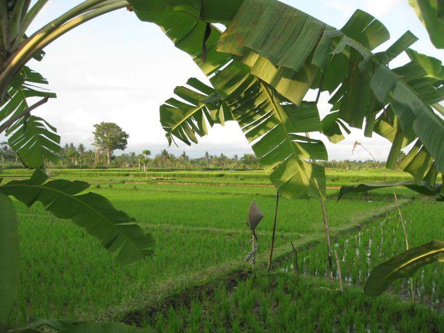 Банановые деревья и рис