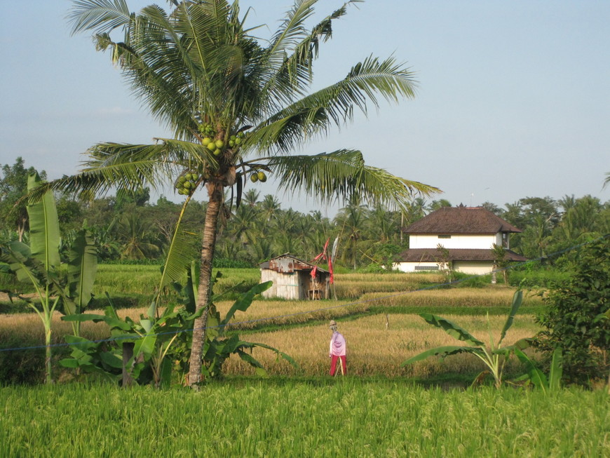 Чучело в рисовом поле