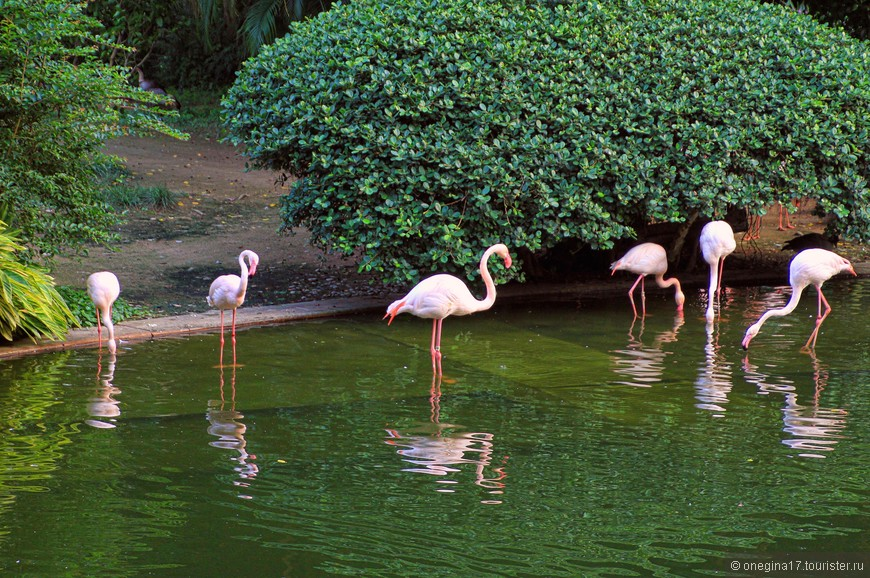 Фламинго в основном спали, изредка прерываясь на еду. И очень осторожно переступали своими тоненькими ножками, устраиваясь поудобнее...