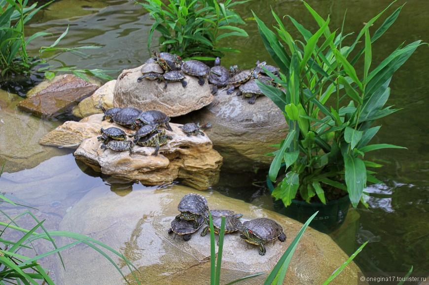 Черепашек в парках много, живут они своей жизнью, на людей внимания не обращают и выглядят намного довольнее пленников аквариумов. Свобода нужна даже черепашкам.