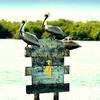 Пеликаны. Рио Лагартос