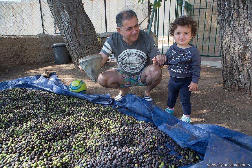 Армяне собирают урожай оливок