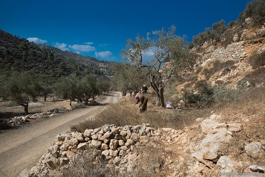 Кругом собирают оливки