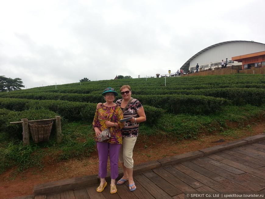 Чайные плантации сорта Улунг в Мае Салонге
