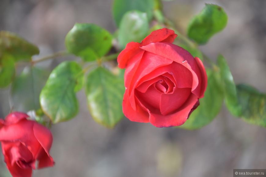 и прекрасные розы.