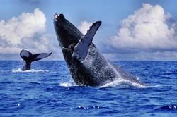 В Доминикане готовятся к сезону наблюдения за китами