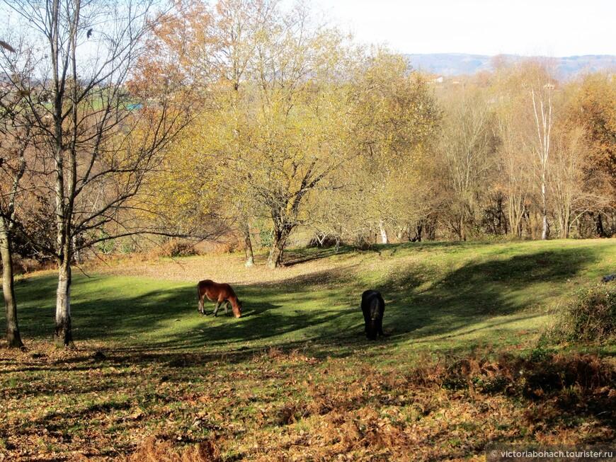 """это порода лошадей """"астуркон"""" выведена в Астурии для сельхозработ в горной местности"""