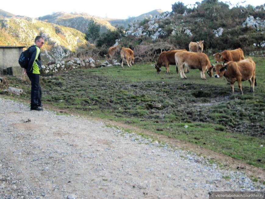 вот почему лучшая телятина это астурийская, разведение коров среди горных красот и на богатых лугах дает свой результат