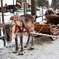 в резиденции Санта Клауса можно покататься на северных оленях