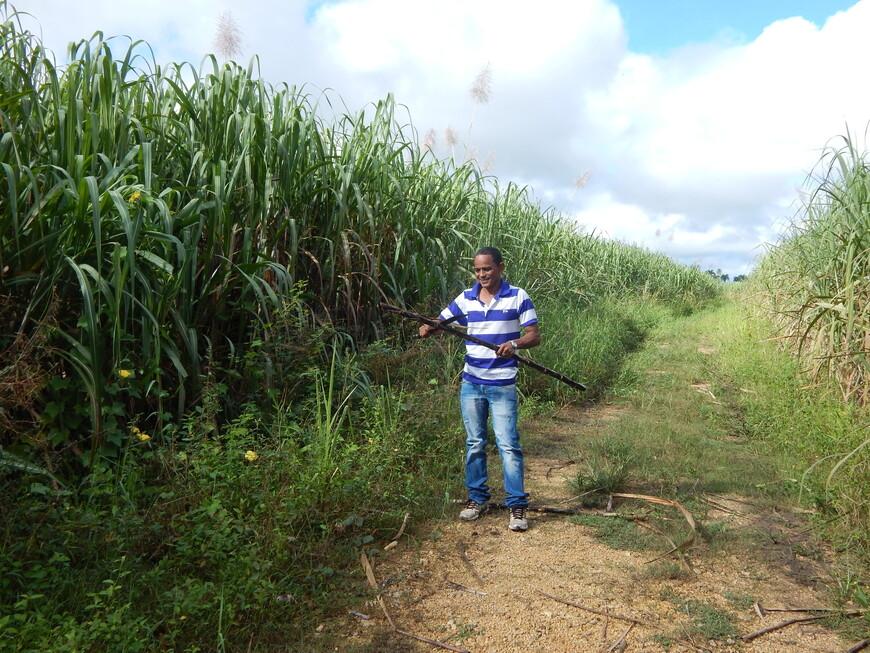 Поля сахарного тростника можно увидеть по всей Доминикане.Посаженный один раз  он приносит жатву в течение 30 лет. Работа на поле по вырубке тростника очень сложна .За день приходится собирать примерно 2-3 тонны, что оплачивается из расчета 100 песо за тонну.Работают на полях в основном гаитянцы,в их стране положение ещё беднее ,вот и едут они толпами в Доминикану.Где богаче не становятся,а в итоге появляются  целые кварталы в городках и преступность. Рейды и депортация не особо влияют на ситуацию - через некоторое время выдворенные возвращаются. От доминиканцев  гаитянцы отличаются более чёрной кожей.