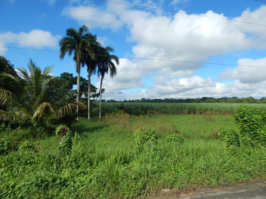 А мы отправились дальше,едем-смотрим на поля тростника и пальмы.