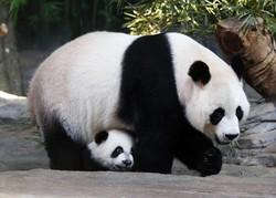 Панда напала на человека в китайском заповеднике