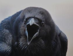 Ворона украла паспорт у эстонца на КПП в Ленинградской области
