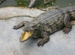 Крокодил напал на французскую туристку в Таиланде
