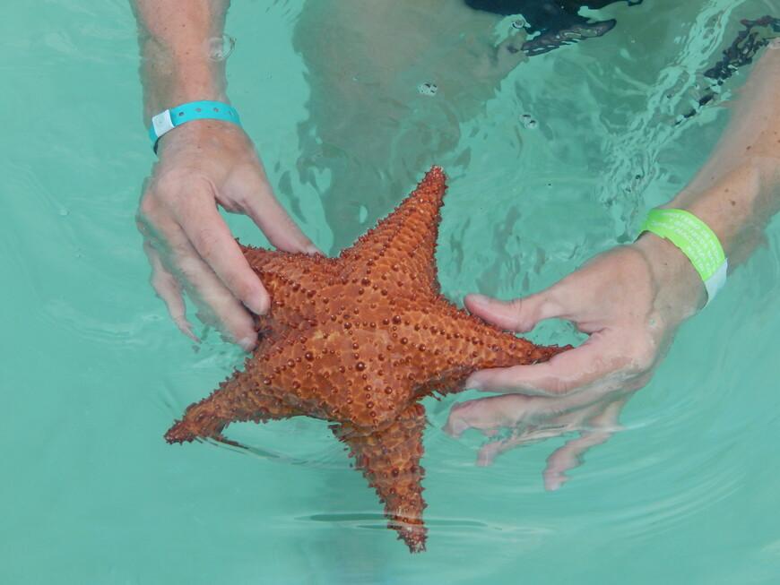 Говорят,что звезду нельзя вынимать из воды больше чем на 20 сек.,но уже дома  я прочитала что морские звёзды ,будучи выброшенными волнами на берег ,могут обойтись без воды до полутора часов.Многие туристы держат её без воды очень долго,делают фото и потом бросают.Создаётся впечатление,что звёзды уже замученные и неживые.Как то жалко мне было этих звёзд....