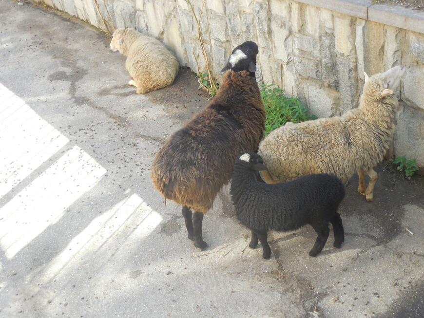 Московский зоопарк - овцы