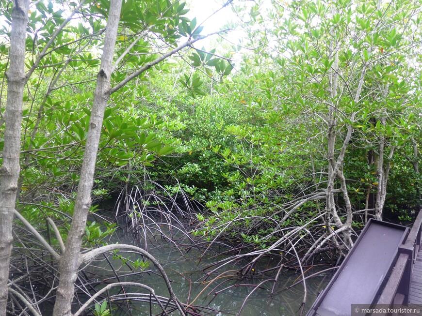 Удивительные растительные сообщества, называемые мангровыми лесами, сформировались на морских побережьях тропических и экваториальных широт. Образующие их растения, объединенные общим названием мангры, приспособились к жизни в приливно-отливной зоне. Название происходит вероятнее всего от малайского «mangle», что переводится как «деревья, растущие в море».